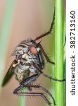 Small photo of Dance Fly (Empididae)