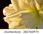 Amaryllis With Water Drops