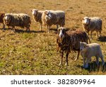 Matted Sheep And Lamb  A...