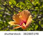 showy orange suffused with ... | Shutterstock . vector #382885198