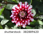 The Dahlia  Dahlia   Is A Genu...
