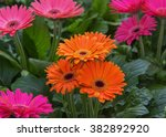 Blooming Flower Gerbera...