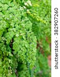 Small photo of Maiden Hair Fern Adiantum Sp green leaf shiny close up