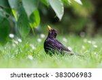 Blackbird In Spring Grass Looks ...