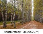 Birch Alley In The Park