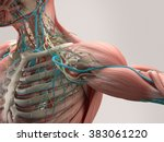 human anatomy detail of... | Shutterstock . vector #383061220