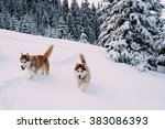 Siberian Husky Dogs In Mountains