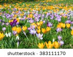Colorful Crocus On A Meadow In...