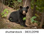 young black bear | Shutterstock . vector #38312098