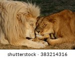 Close Up Of Lion Couple  Male...