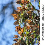 Monarchs Cluster In The...