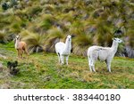 Llamas In Cajas National Park ...