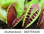 Leaves Of A Venus Flytrap