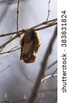 Small photo of Red bat hanging from branch