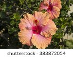 showy pink suffused with orange ... | Shutterstock . vector #383872054