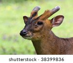 close-up of a chinese muntjac - stock photo