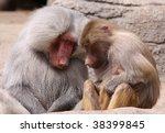 pair of sleeping baboons - stock photo