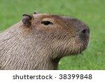 close-up of an adult capybara - stock photo