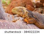 Galapagos Land Iguana Lying On...