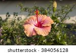 showy pink suffused with orange ... | Shutterstock . vector #384056128