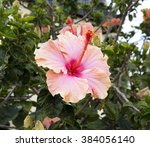 showy pink suffused with orange ... | Shutterstock . vector #384056140