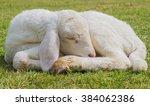 Lamb Sweet Sleep On The Grass.