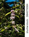 Small photo of Androsace Armeniaca or macrantha