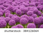 Field Of Allium   Ornamental...