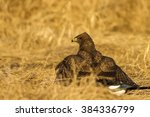buzzard on dry yellow grass... | Shutterstock . vector #384336799