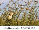 warbler great reed warbler  ...   Shutterstock . vector #384352198