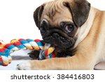 Stock photo pug biting toy 384416803