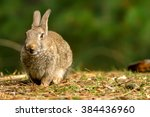 wild rabbit in formby nature... | Shutterstock . vector #384436960