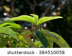 Small photo of Alstonia angustiloba