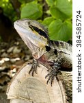 Small photo of An Eastern Water Dragon (Intellagama lesueurii) is an arboreal agamid species native to eastern Australia from Victoria northwards to Queensland