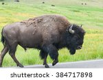 the typical american bison on...   Shutterstock . vector #384717898