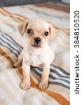 tiny chihuahua puppy playing on ... | Shutterstock . vector #384810520