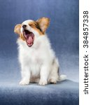 Yawning Puppy Papillon On A...