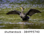 Double Crested Cormorant Dryin...