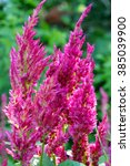 Small photo of Pink cockscomb flower, Celosia argentea Linn. var. cristata Kuntze, Amaranthaceae in spring, natural background