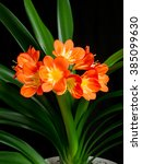 Clivia Blossoming Against Dark...