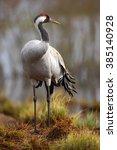 Common Crane  Grus Grus  Big...