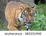 Sumatran Tiger Roars In The...