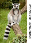 Ring Tailed Lemur In The Pragu...