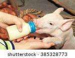 Small Piglet Feeding Milk From...