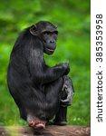 Chimpanzee  Pan Troglodytes ...