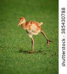 Baby sandhill crane chick wobbles as he learns to walk