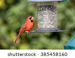 Male Northern Cardinal Perched...