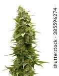 Long Marijuana Bud On Top Of...