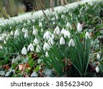 Carpet Of Snowdrops In The...