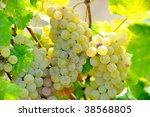 white grapes in the vineyard   Shutterstock . vector #38568805